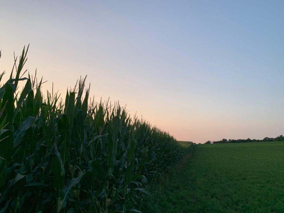 Corn field at dusk (August 6th, 2019)