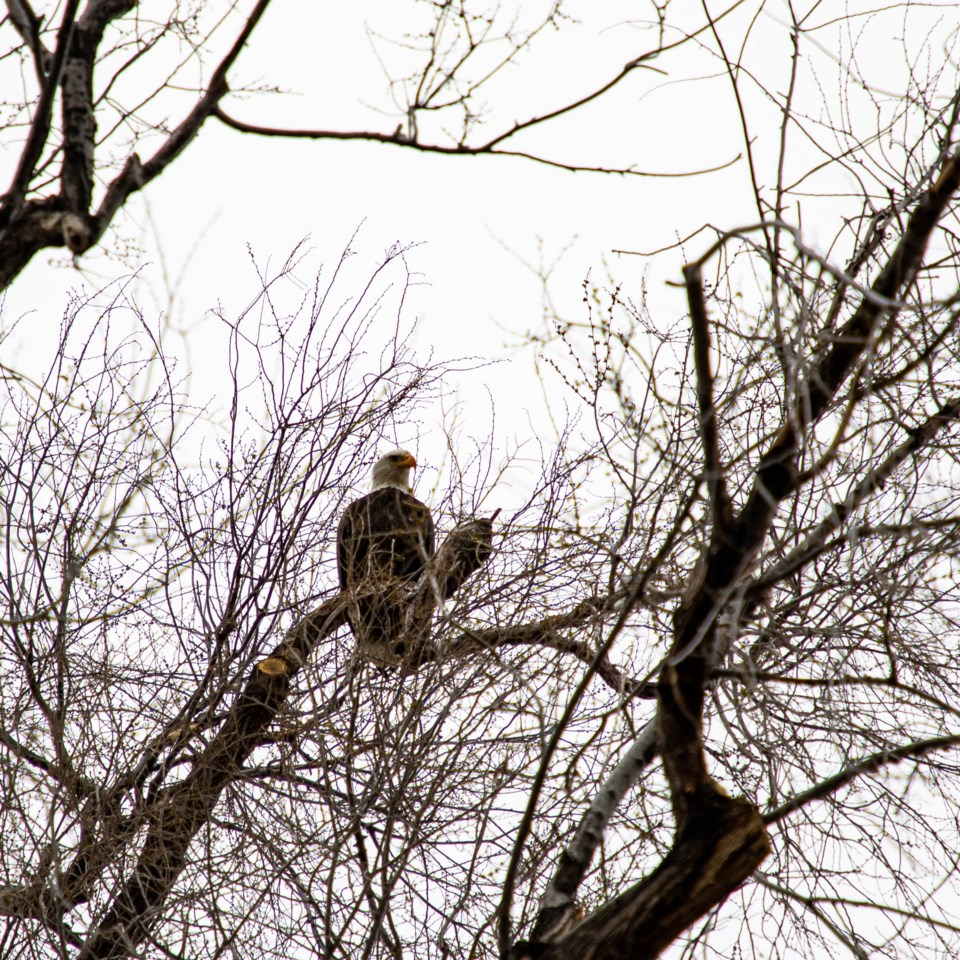 USED Bald Eagle looking over Longmont