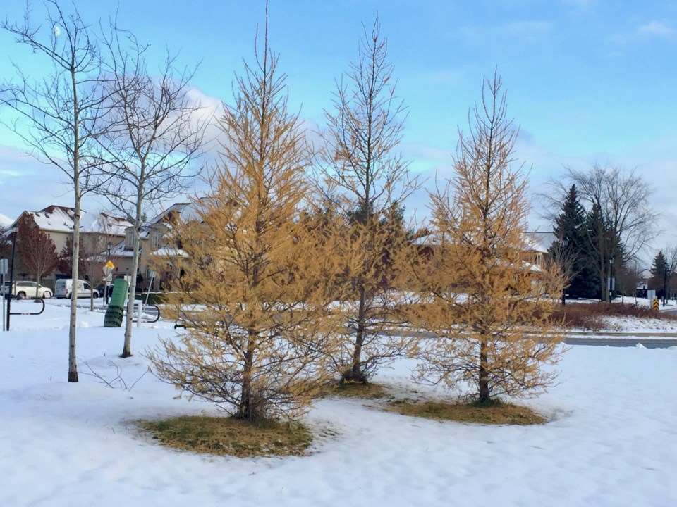 USED 20181120Tamaracktrees