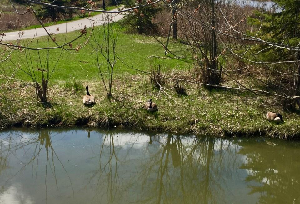 USED 2019 05 14 geese on bank DK