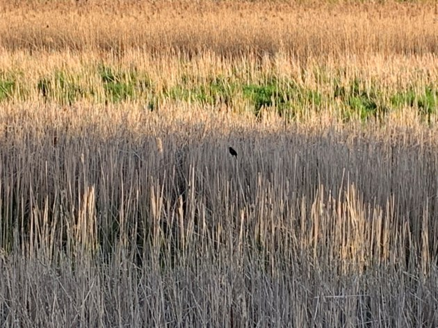 USED 2019 05 25 bird in wetland DK