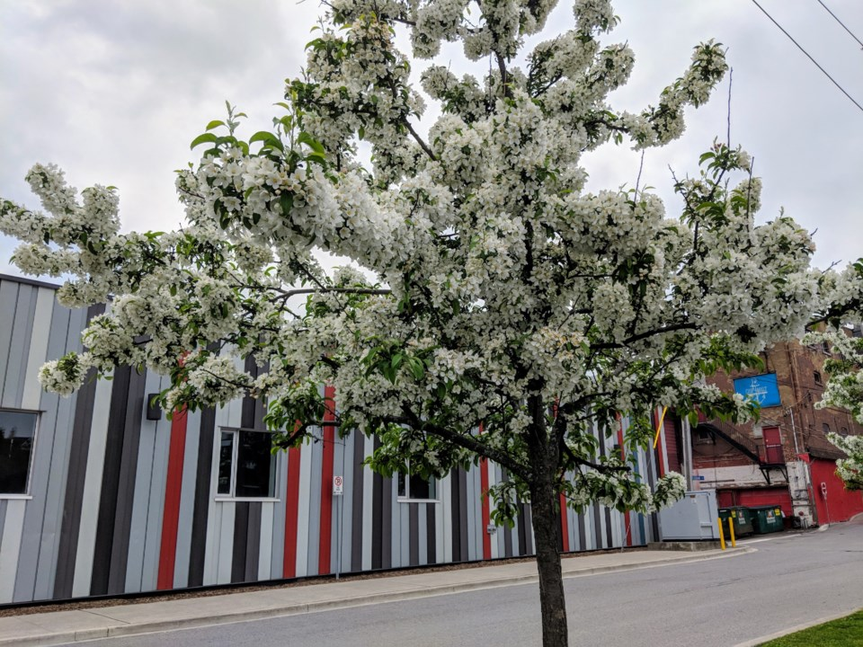 USED 20190607 flowering tree kc