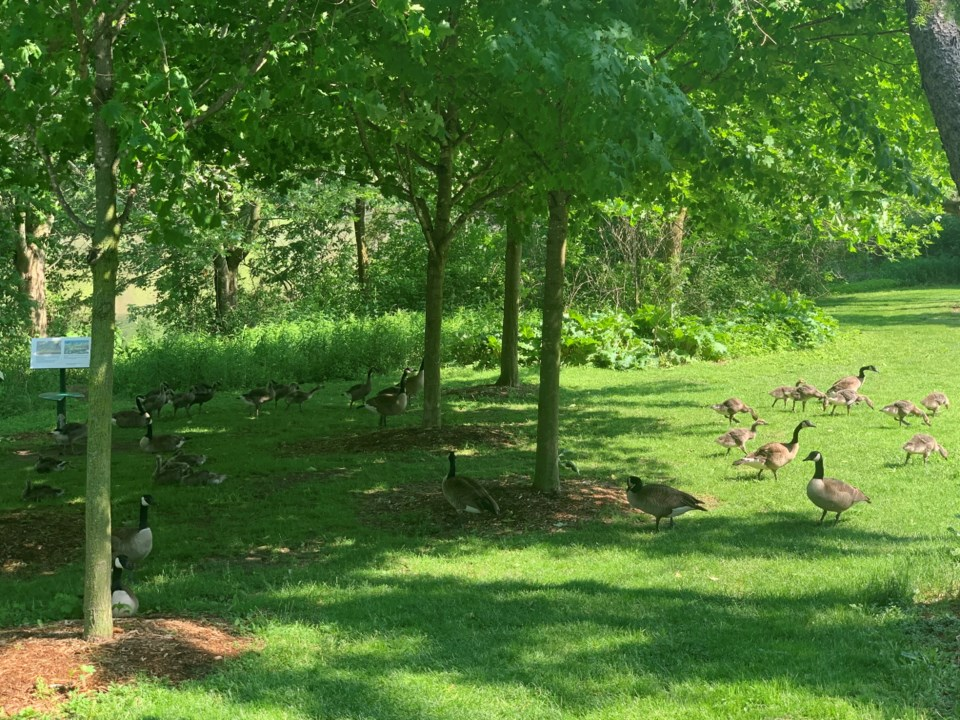 USED 2020 06 21 Geese galore SC