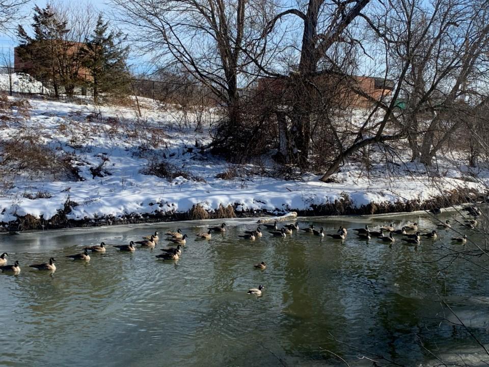 USED 2021 01 18 geese galore DK