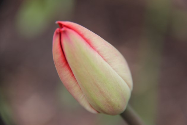 USED 2019-05-23goodmorning  3 All ready to bloom. Photo by Brenda Turl for BayToday.