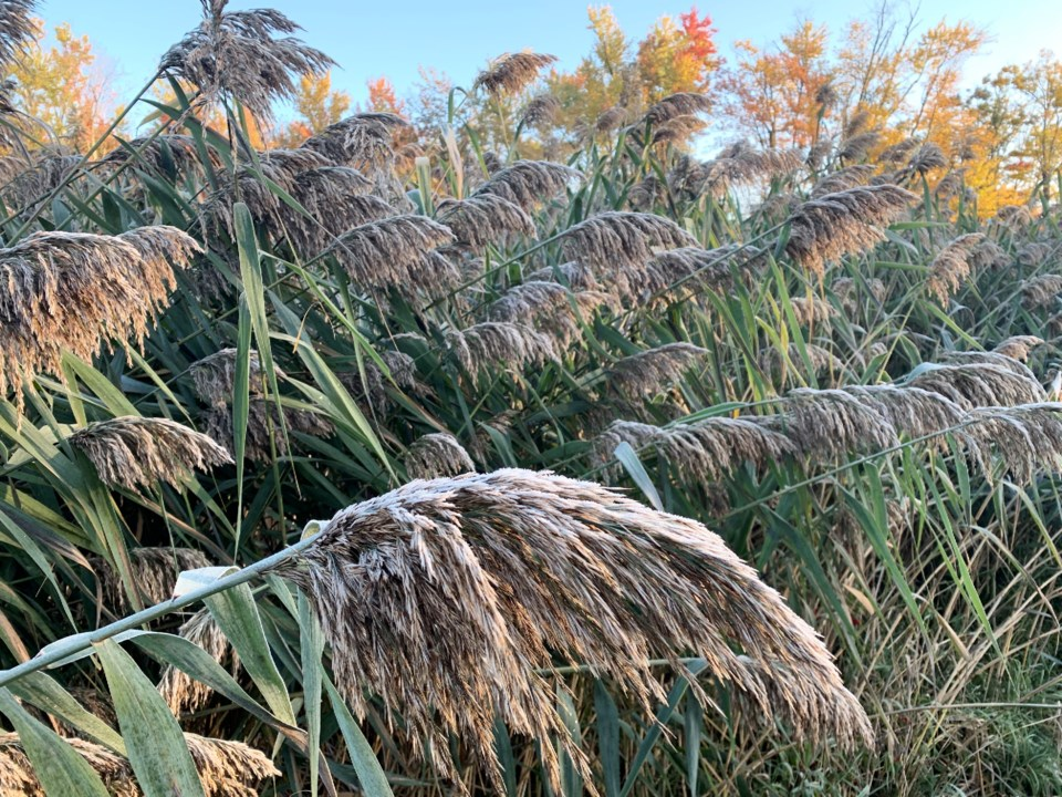 USED 2019-11-7goodmorningnorthbaybct  4 Frost makes an appearance. Photo by Brenda Turl for BayToday.