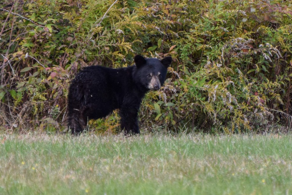 USED 2020-10-12goodmorningnorthbaybct  5 Bear cub at Canadore College. North Bay. Courtesy of Connor Earl.