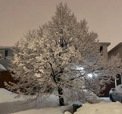 USED 2020-2-6goodmorningnorthbaybct  6 Snow covered tree. North Bay. Courtesy of Daralynn D'Angello.