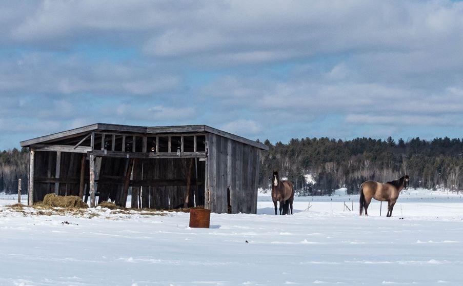 USED 2020-3-19goodmorningnorthbaybct  7 Horses in winter. Sturgeon Falls. Courtesy of Donna Febbo.