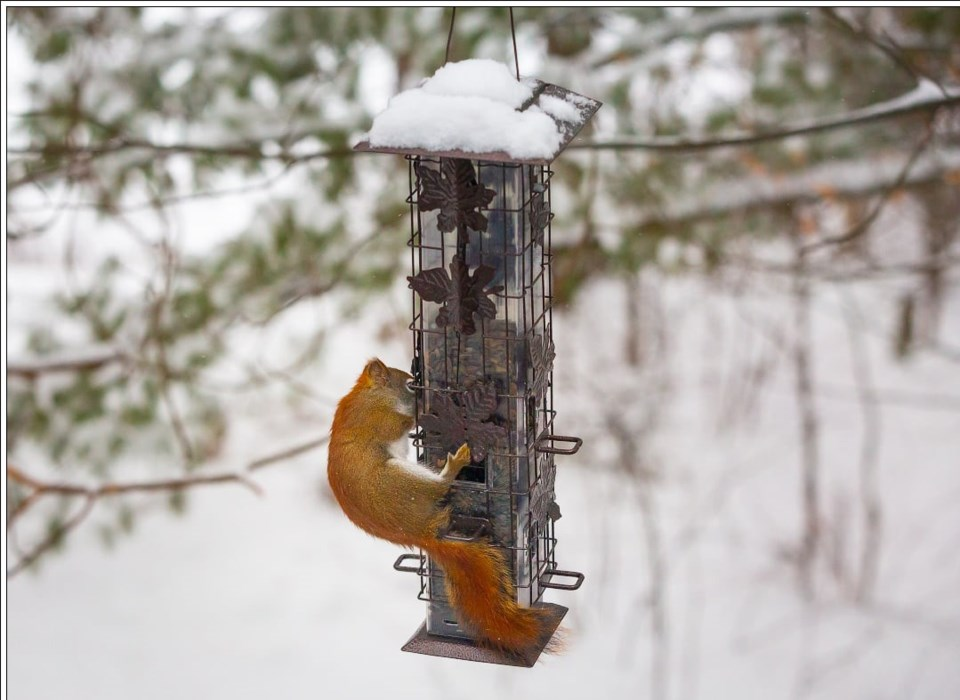 USED 2021-2-8goodmorninnorthbaybct  4 Squirrel proof bird feeder. North Bay. Courtesy of Rob Morton.