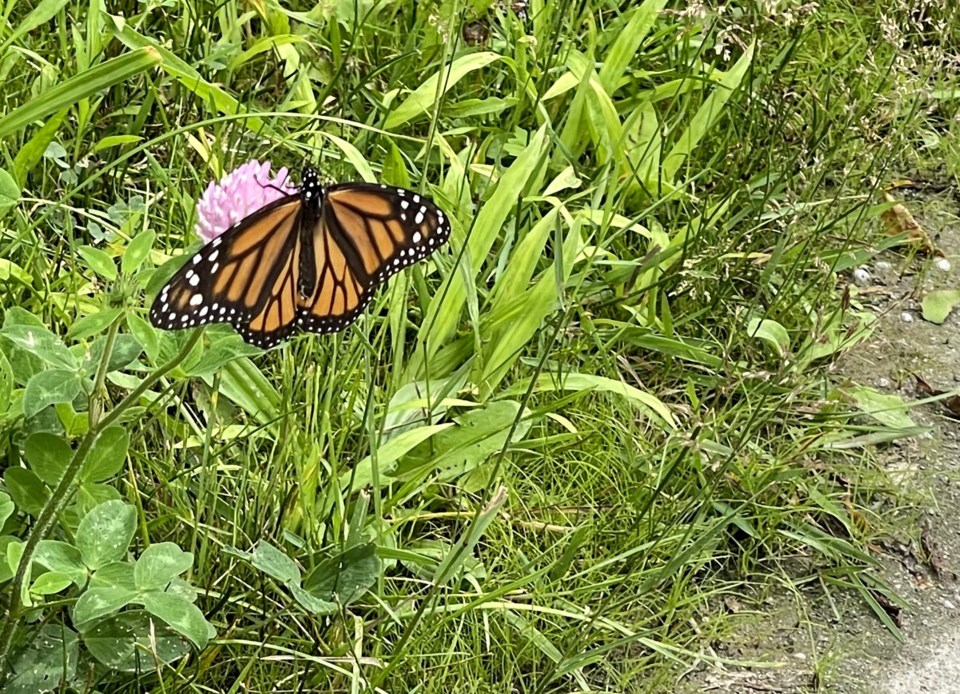 USED 2021-07-26 gm monarch on flower margot