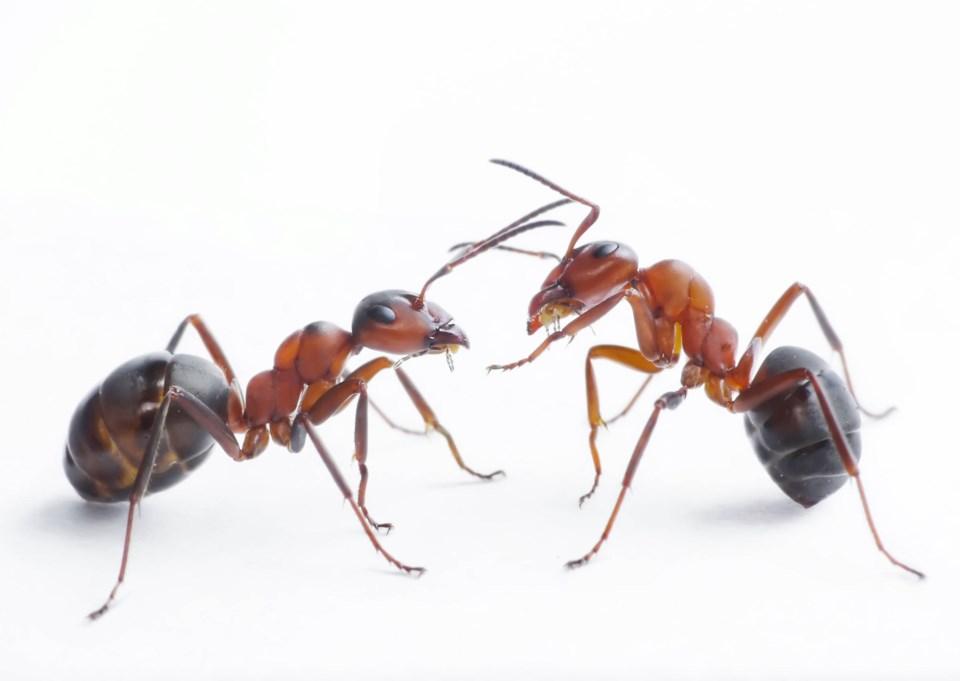 ants stock