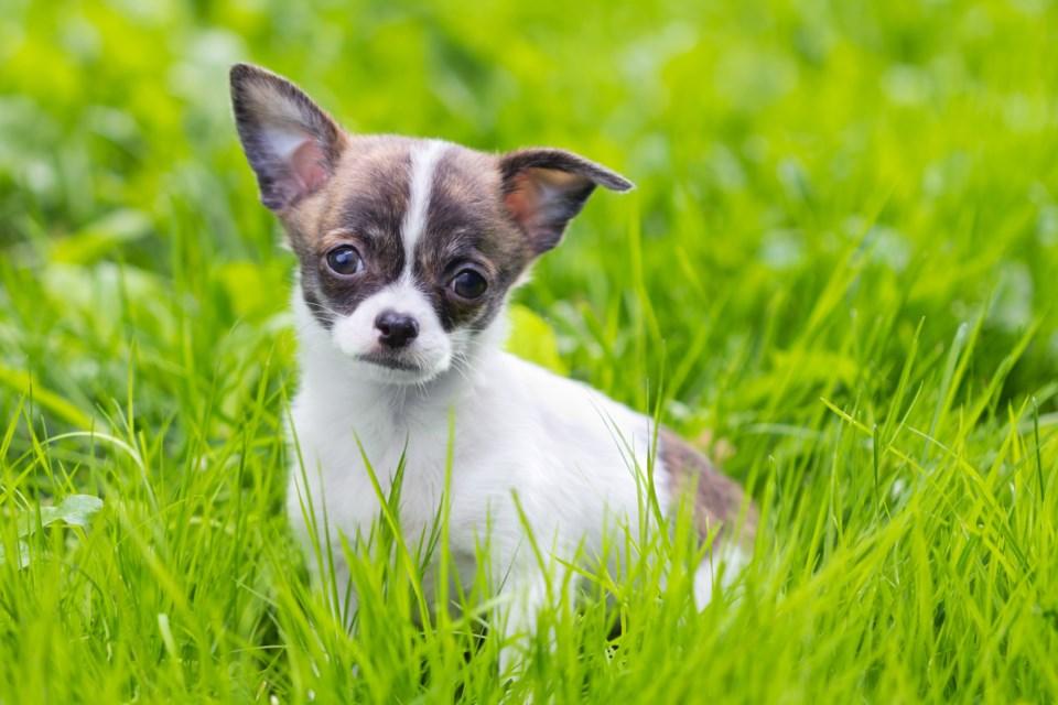 chihuahua puppy stock