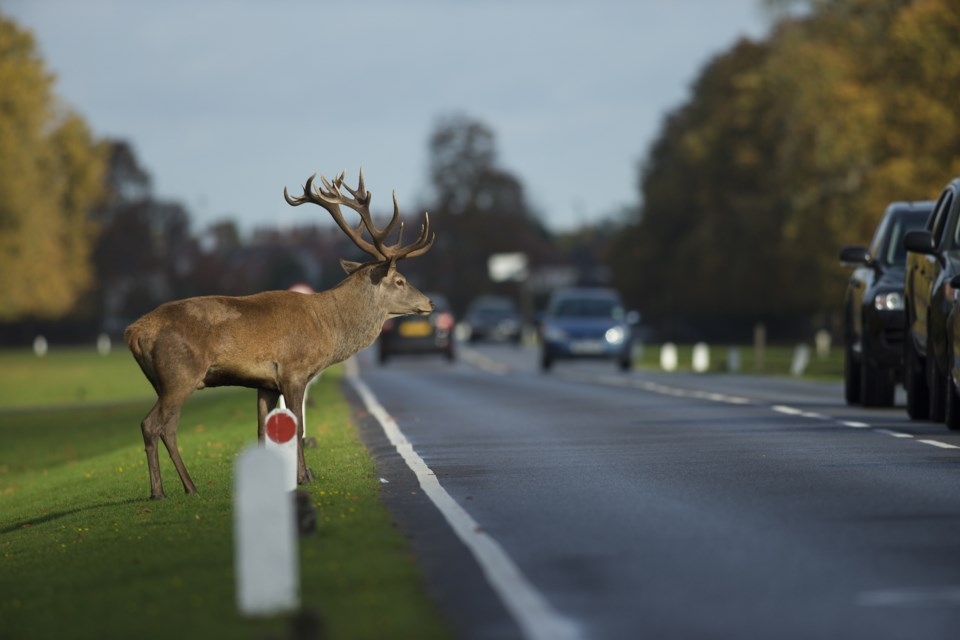 Deer on road shutterstock
