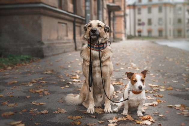 dog walking AdobeStock_92983456