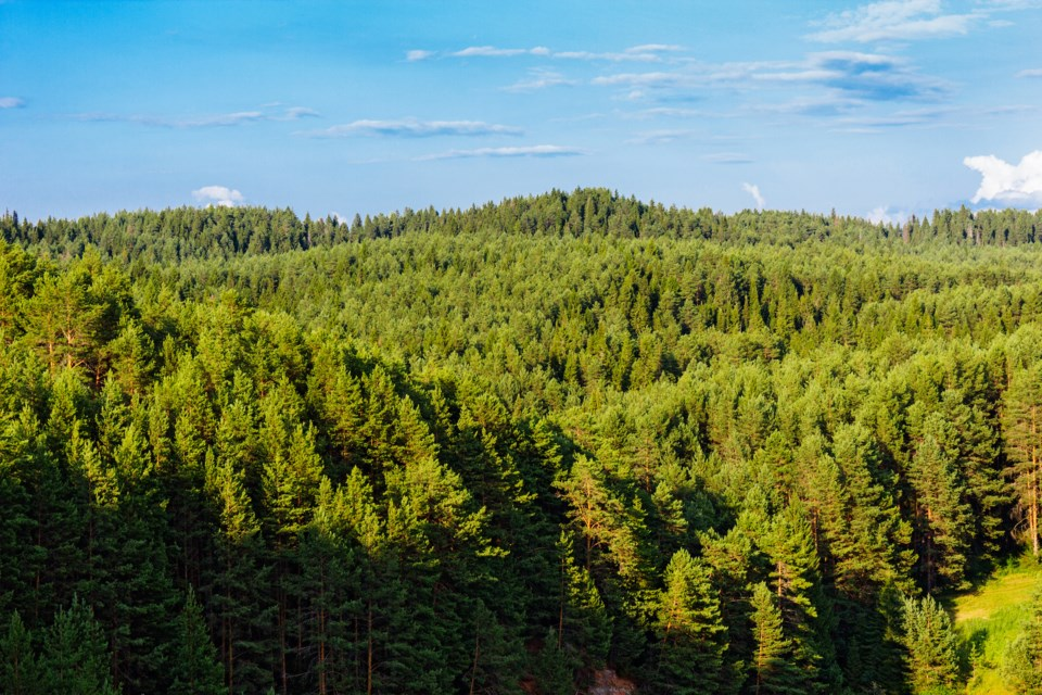 forest trees conifers