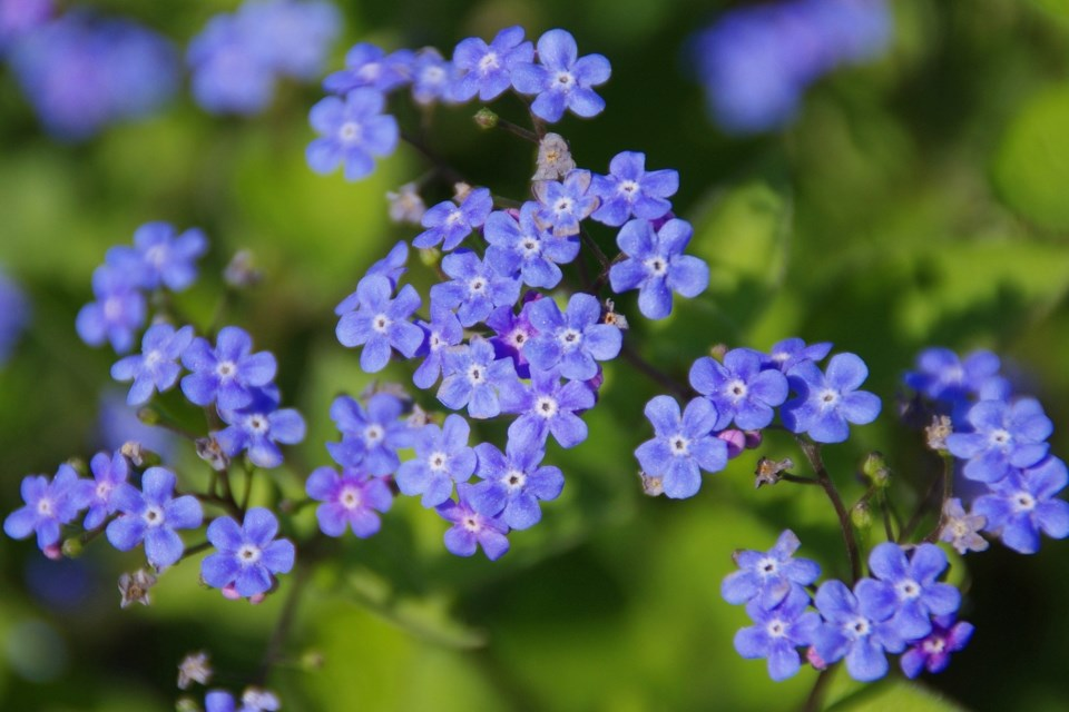 ForgetMeNotFlowers