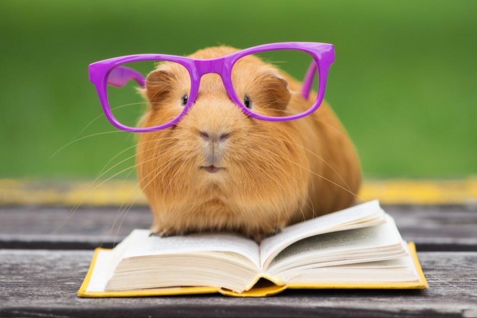 guinea pig reading AdobeStock_111105568
