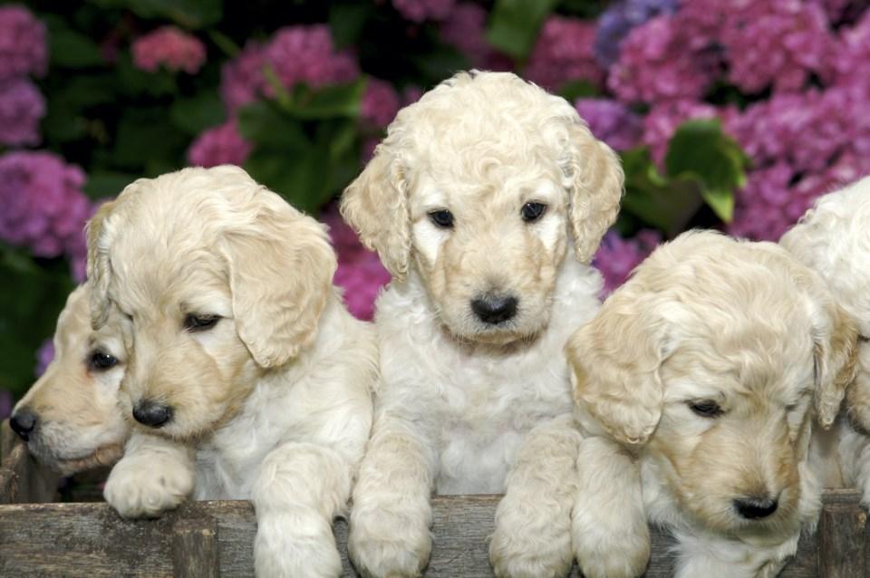 LabradoodlePuppies