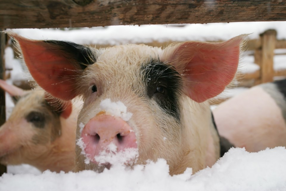 pig in snow stock