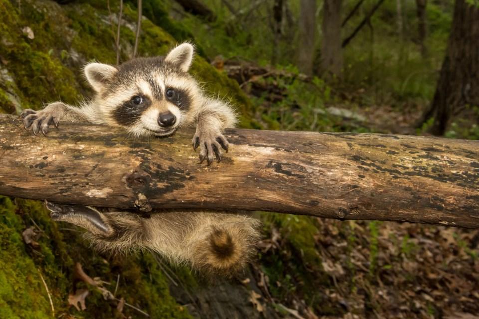 raccoon cute