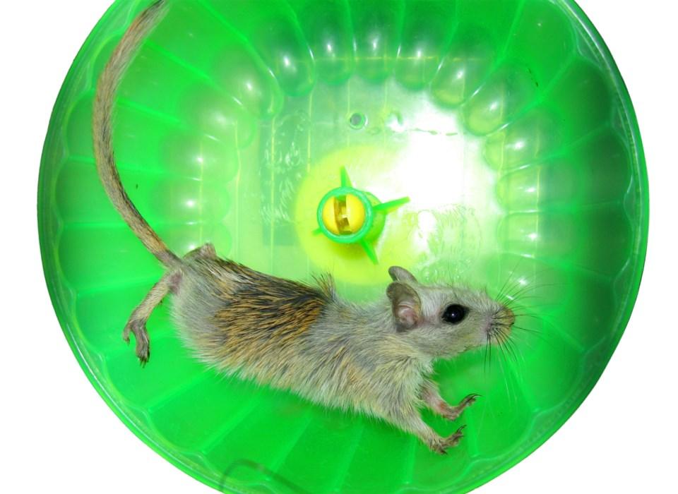rodent running stock