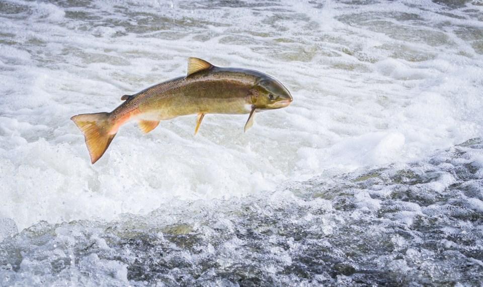 salmon jumping stock