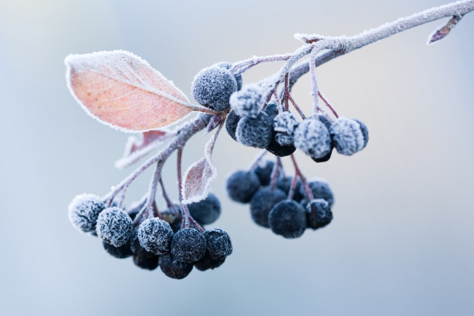 FrostyBerries