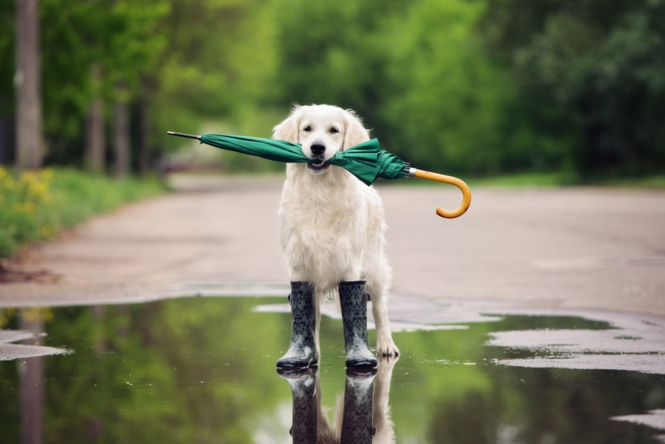 dog umbrella AdobeStock_110664347