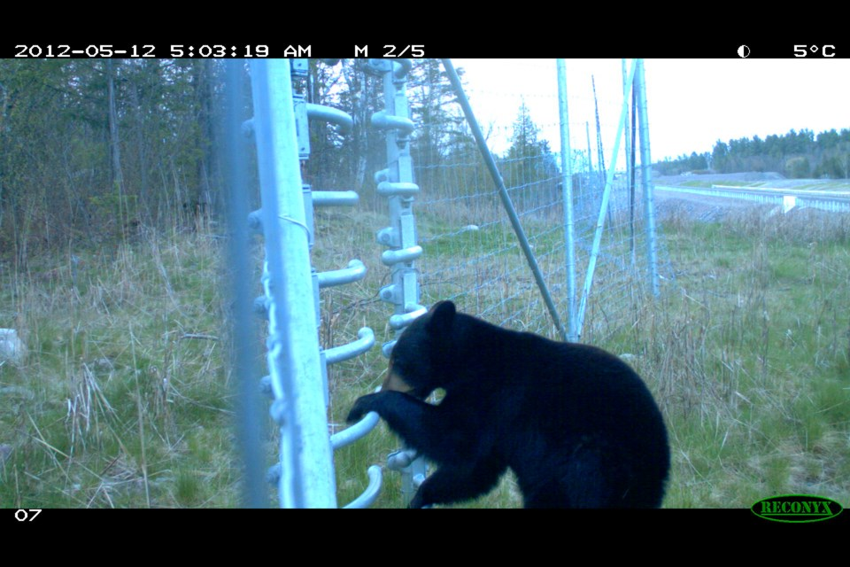 Check out this bear utilizing the turnstile as an escape route.