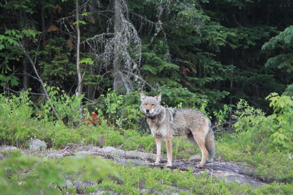 Eastern or Algonquin Wolf