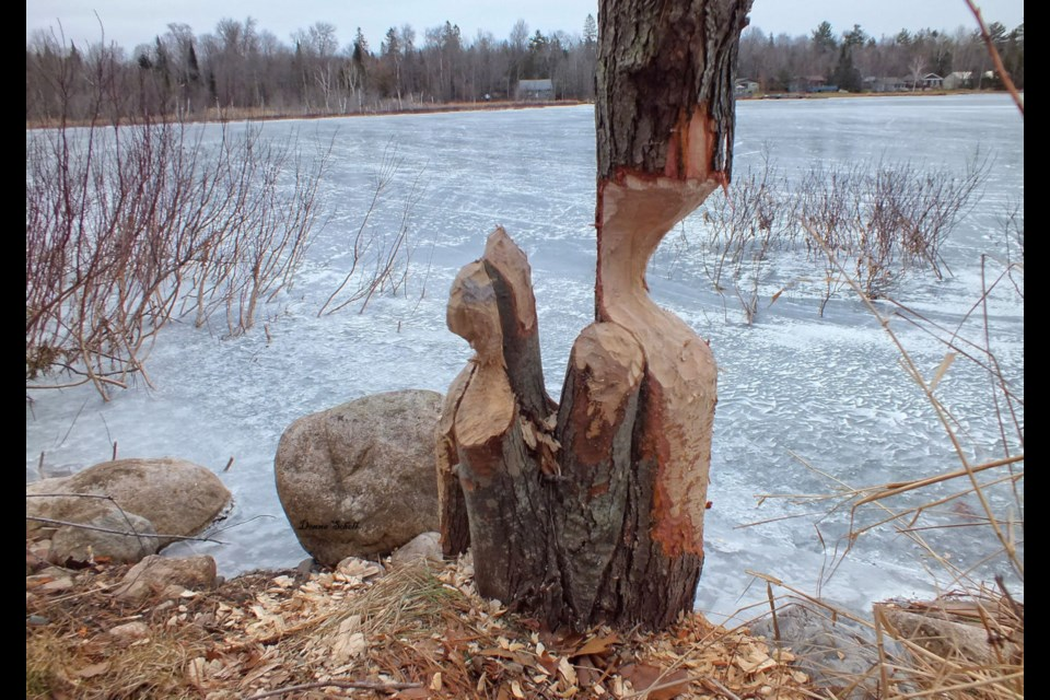 A beaver's handy work on a cluster of young maple trees found in a remote area in Tarbutt Township
