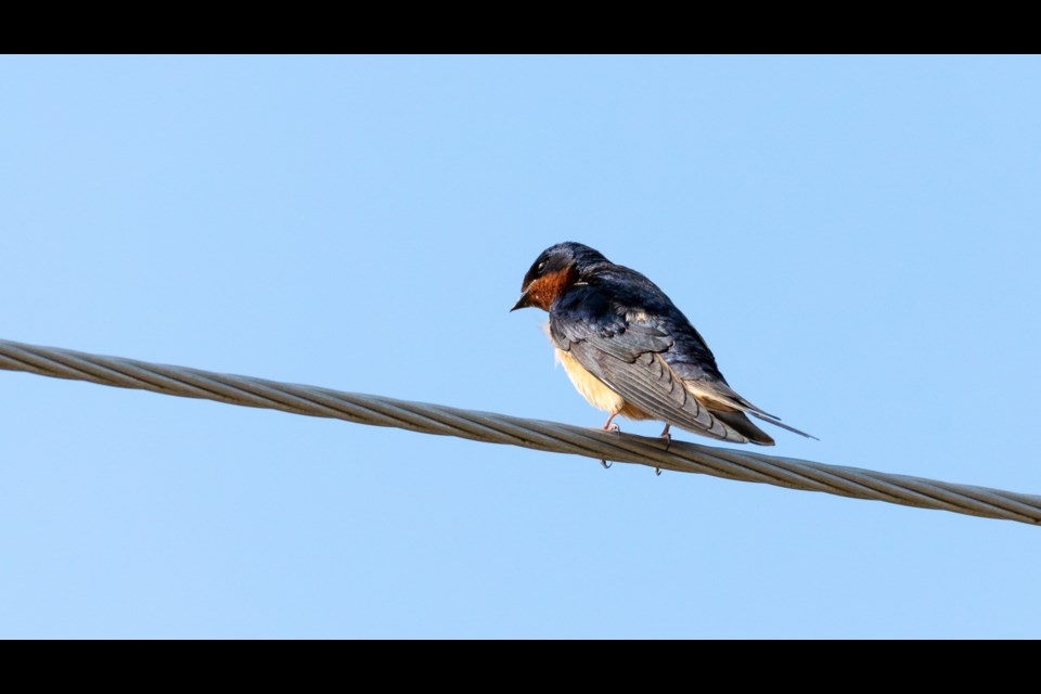 The Ontario barn swallow population has plummeted 80 per cent in the past five decades.