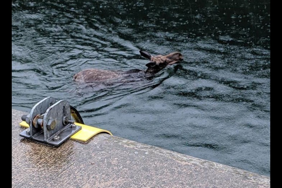 A moose got trapped in the Sault Canal this morning. Photo courtesy Kevin Girardi