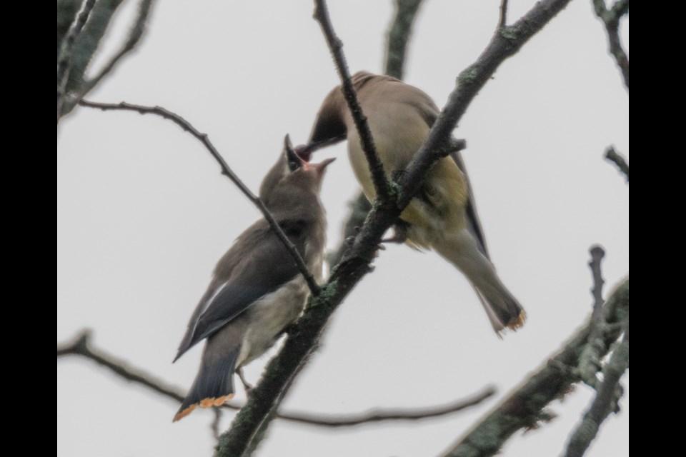 Cedar Waxwings. Birding Big Day September 7, 2019. Violet Aubertin for SooToday