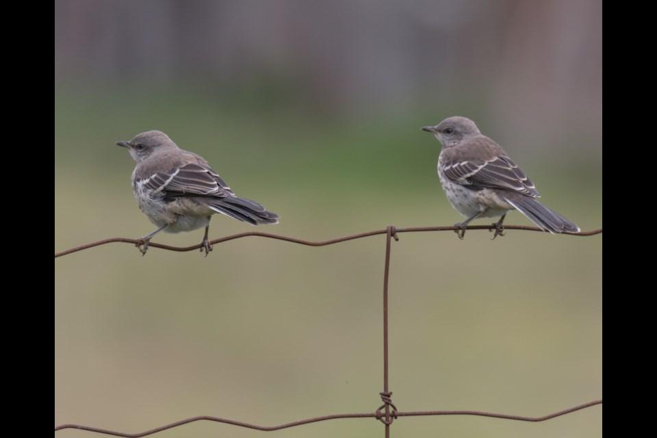 Northern Mockingbird hatchlings. Violet Aubertin for SooToday