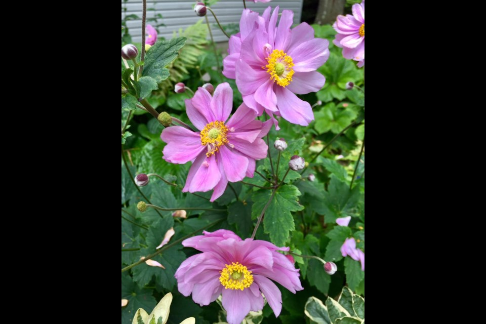 What does Susan Richards recommend for fall colour in the shade? In her own garden, she grows anemone . . .