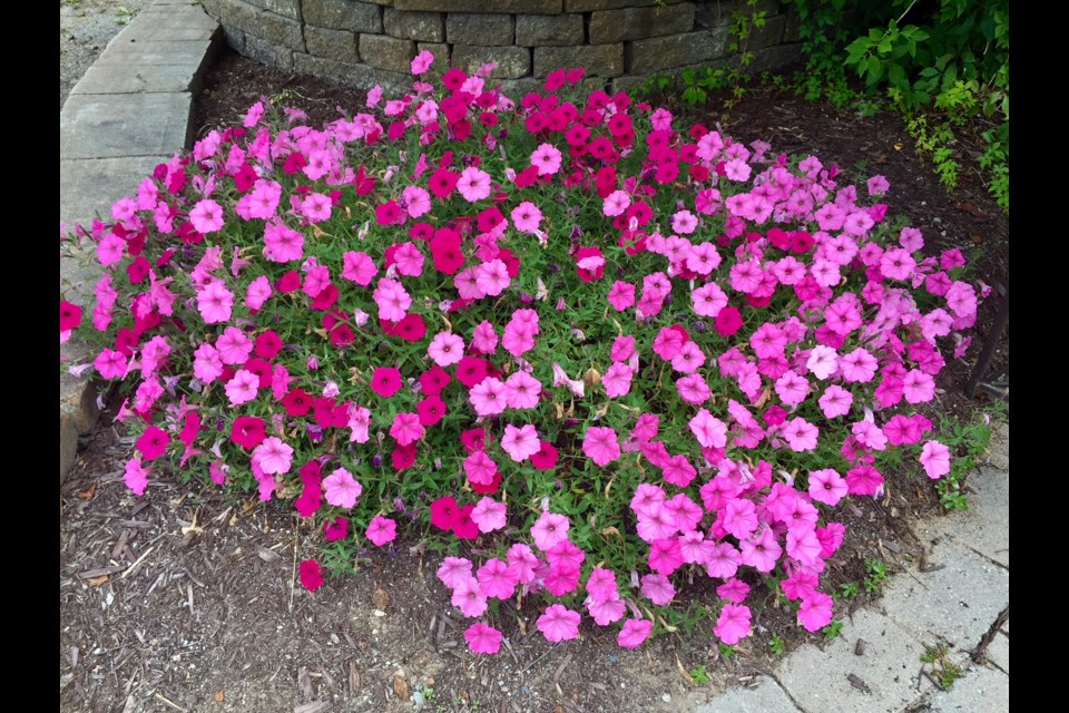 This petunia planter was fertilized regularly.