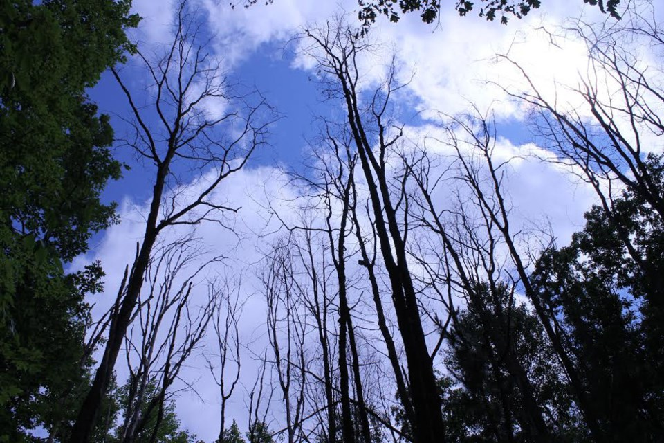 The ravaging effects of Oak Wilt. Photo supplied by Invasive Species Centre.