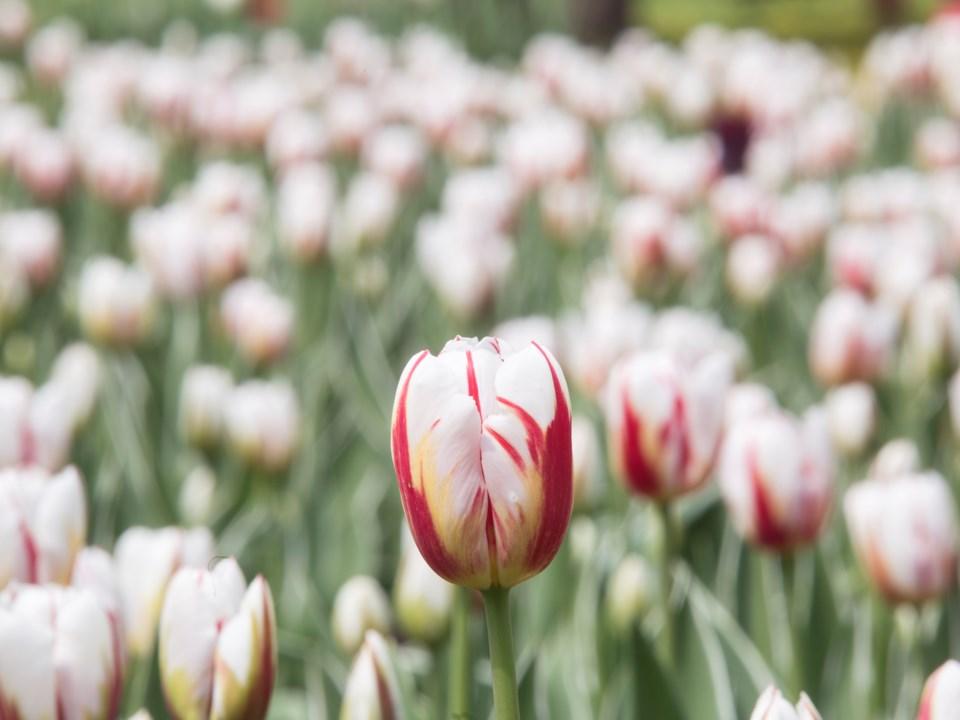 20170523 Canada 150 Tulips KA 07