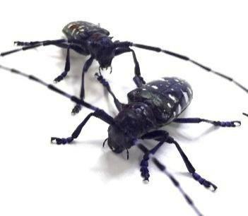 20210219-Asian longhorned beetle photo supplied 2
