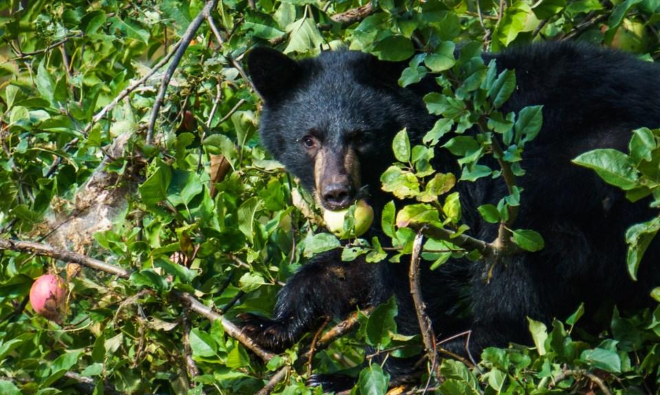 bear in fruit tree