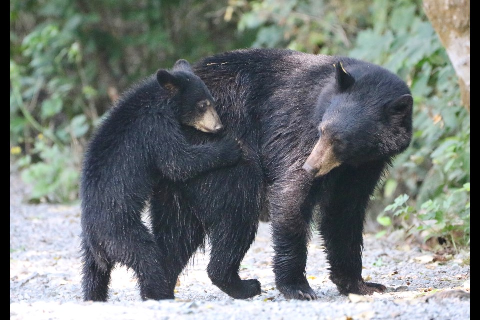 Black bears were spotted in Squamish on July 25, 2021.