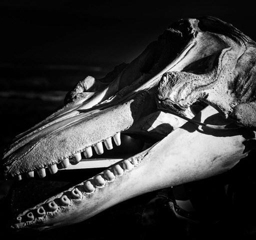 BMM Whale Skull close up bw