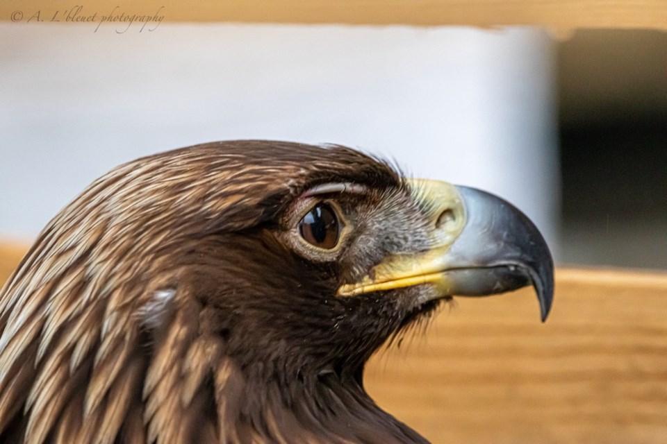 Golden eagle discovered by photographer Alexandre Gilbert.