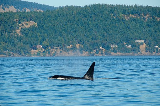 Southern Resident orca near the Strait of Georgia, off the coast of Vancouver.