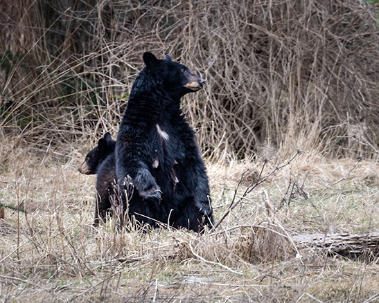 A sow and cub in the Squamish Estuary in the first week of March.