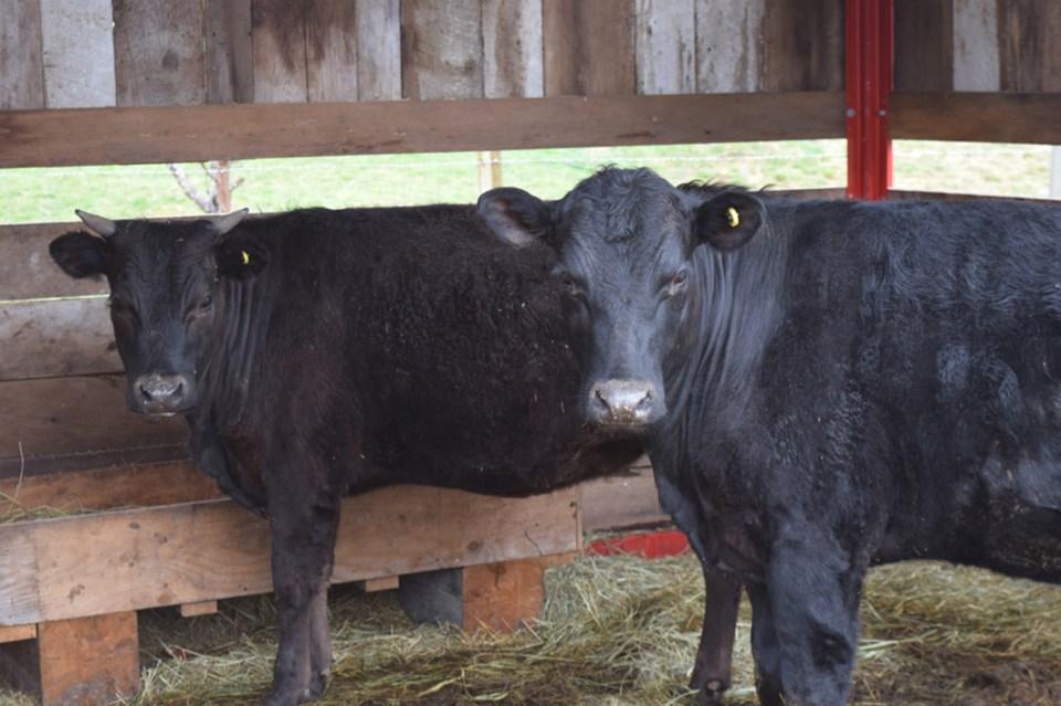 Squamish cows