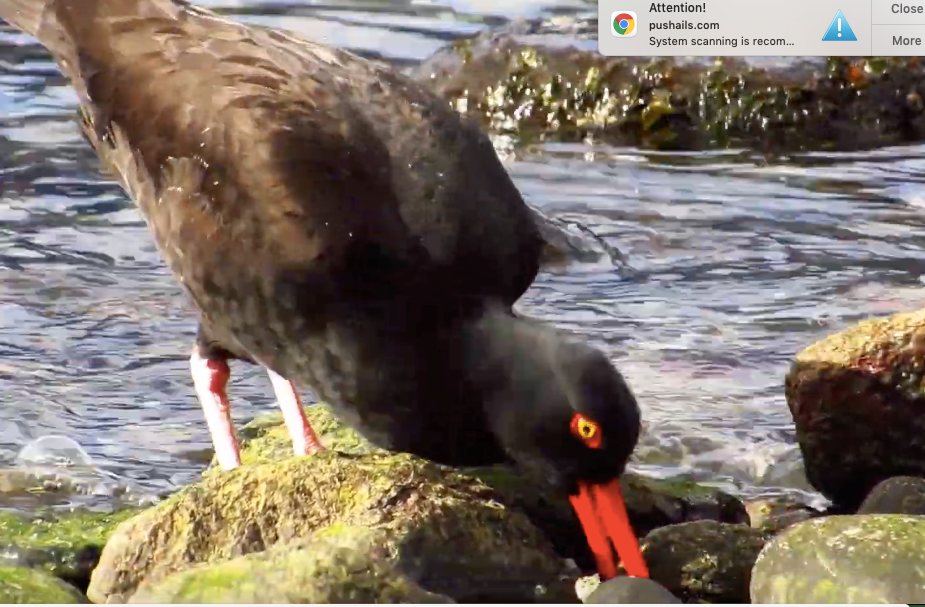 An oystercatcher looks for his snack.