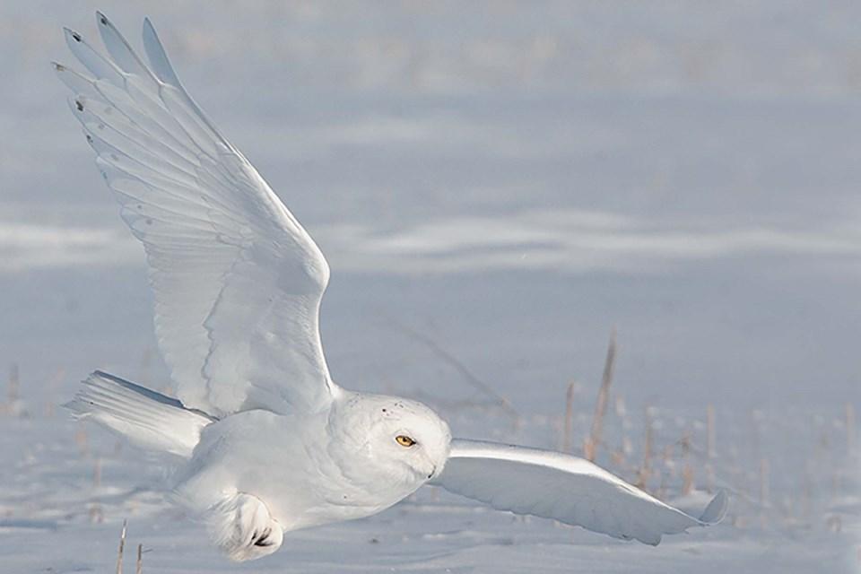 0212 BirdCount-SnowyOwlMaleFlightGordonCourt-GC